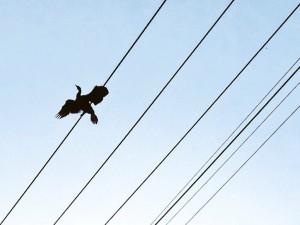 電線に止まって翼を乾かすカワウ(撮影ないとう