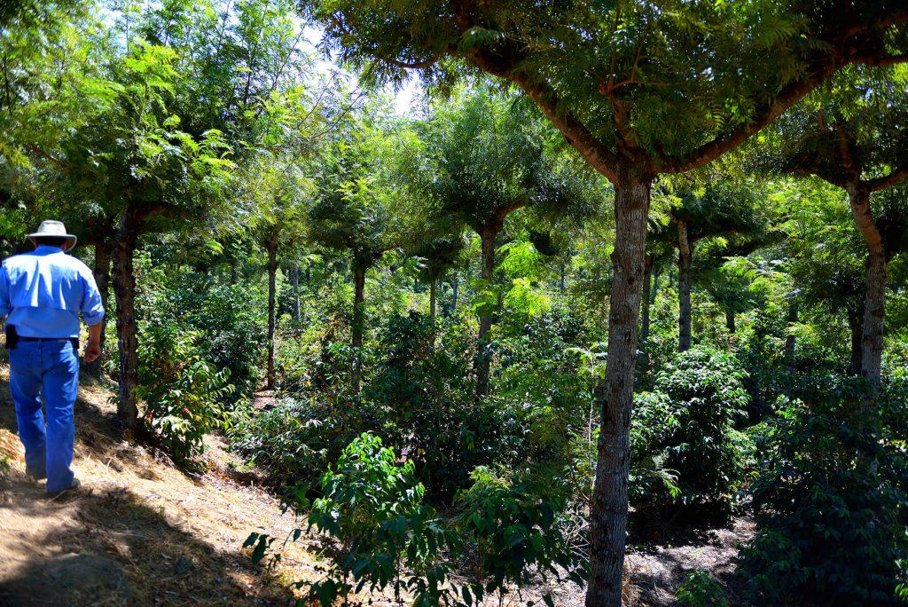 グアテマラ ハウハ農園