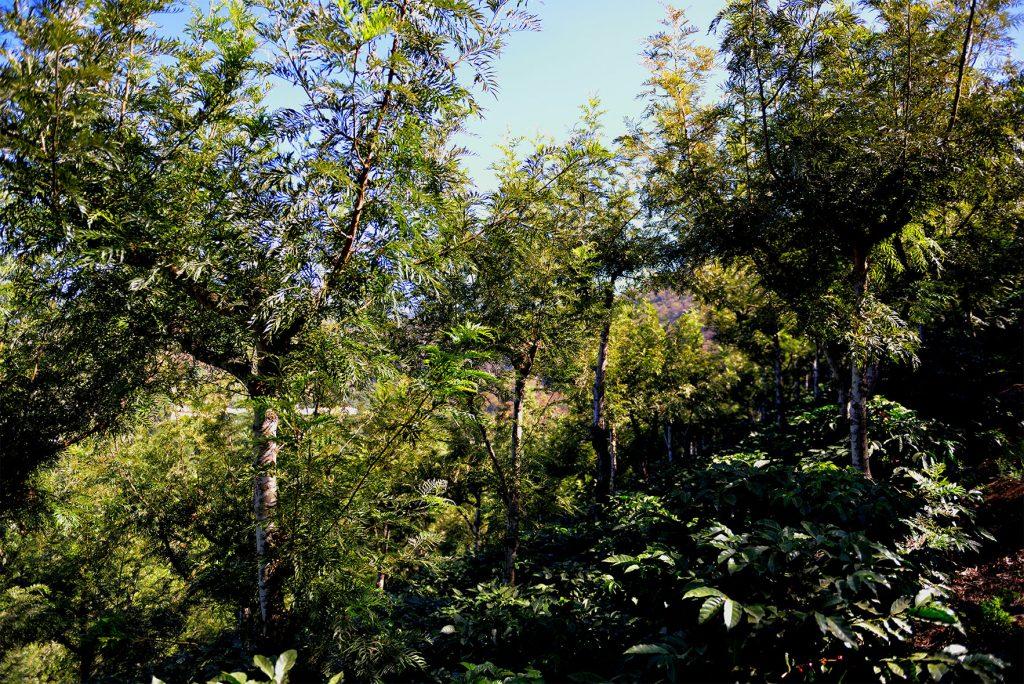 グアテマラ サンタクララ農園